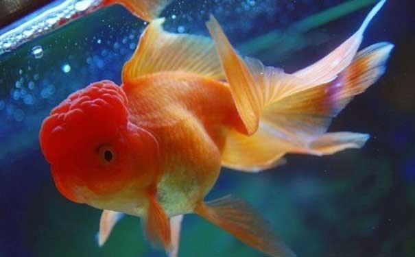 金鱼吐泡泡的原因