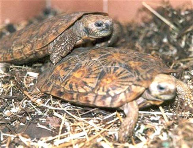 饼干陆龟有什么习性